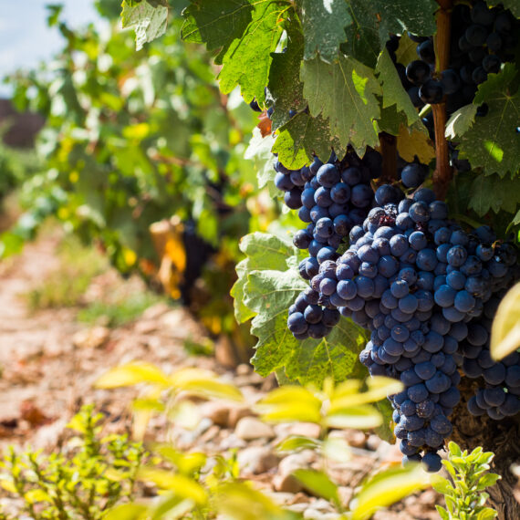 Spain travel photography: Tempranillo grapes ripening at the Bodega Marques de Murrieta, La Rioja, Spain.