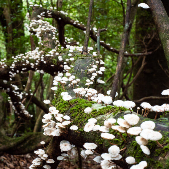 Japan travel photography: Mushrooms grow on mossy branches and logs in the Shiratani Unsuikyo Ravine world heritage site, Yakushima, Japan.