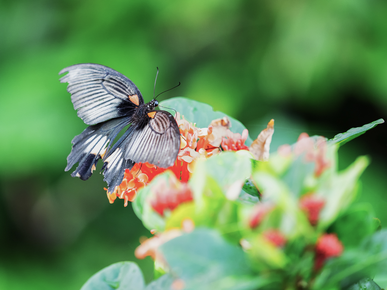 Japan travel photography: A swallowtail butterfly rests on a leaf in Yakushima, Japan.
