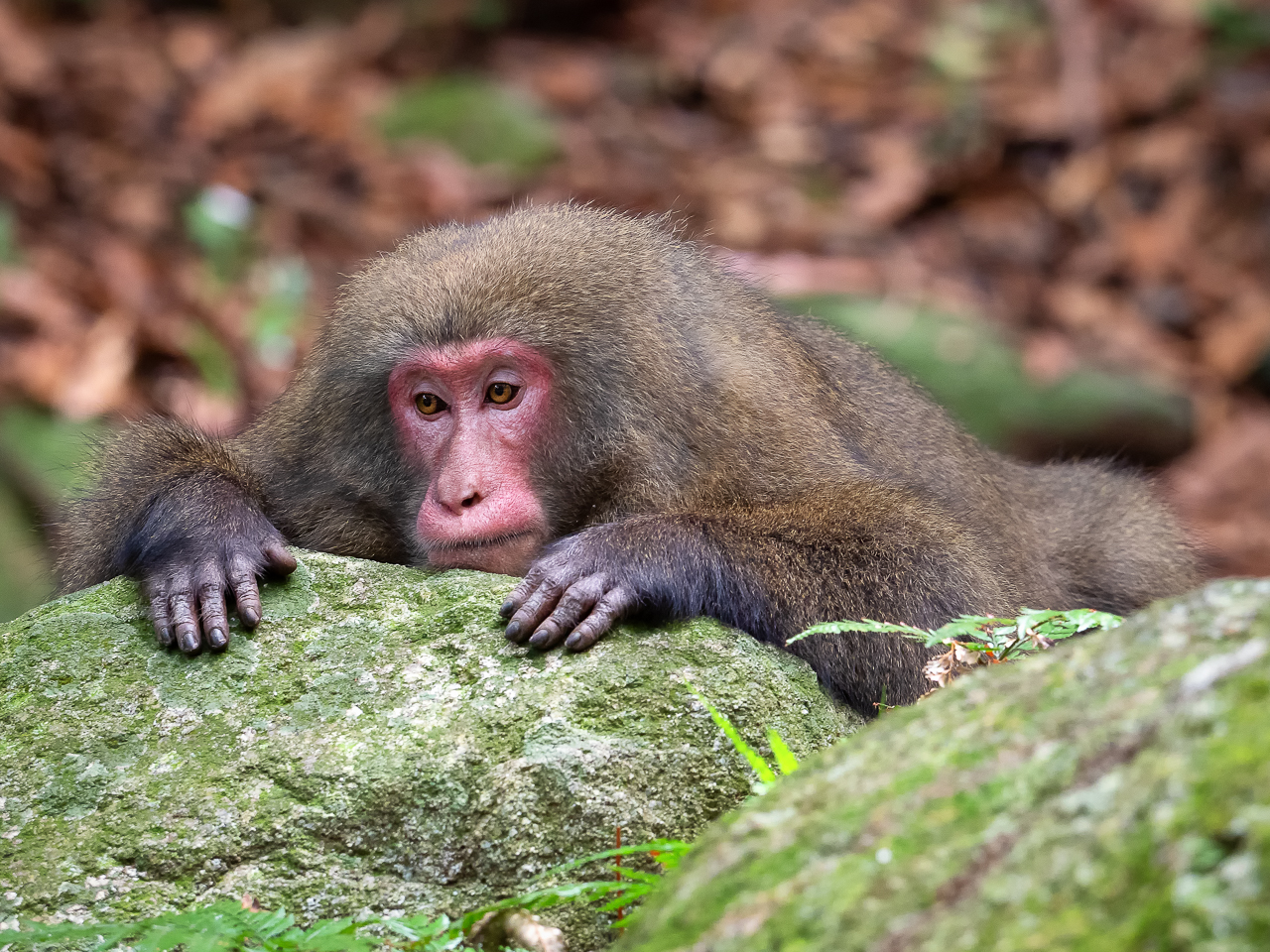 Japan travel photography: Yakushima macaques (Macaca fuscata yakui) in woodland in Western Yakushima, Japan.