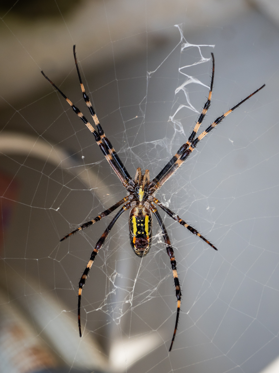 A Jorō spider (Nephila clavata), a member of the golden orb web family, seen in Yakushima, Japan.