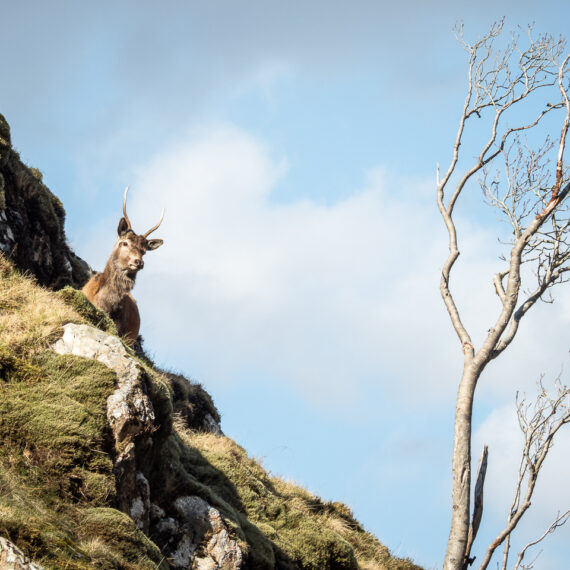 Travel photography Scotland: Young deer graze on a hillside in Glen Pean, Scotland.