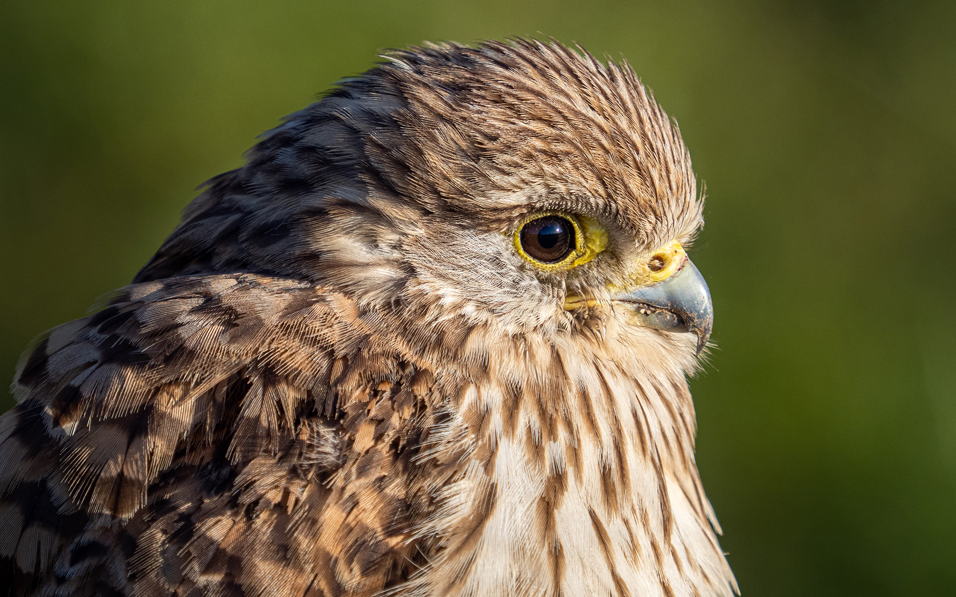 04 – Wildlife (Kestrel)