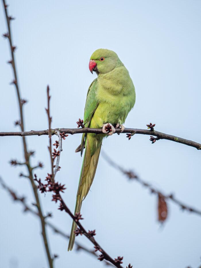 A feral parakeet (Psittacula krameri) seen at the Beddington Farmlands Nature Reserve, Sutton, London.