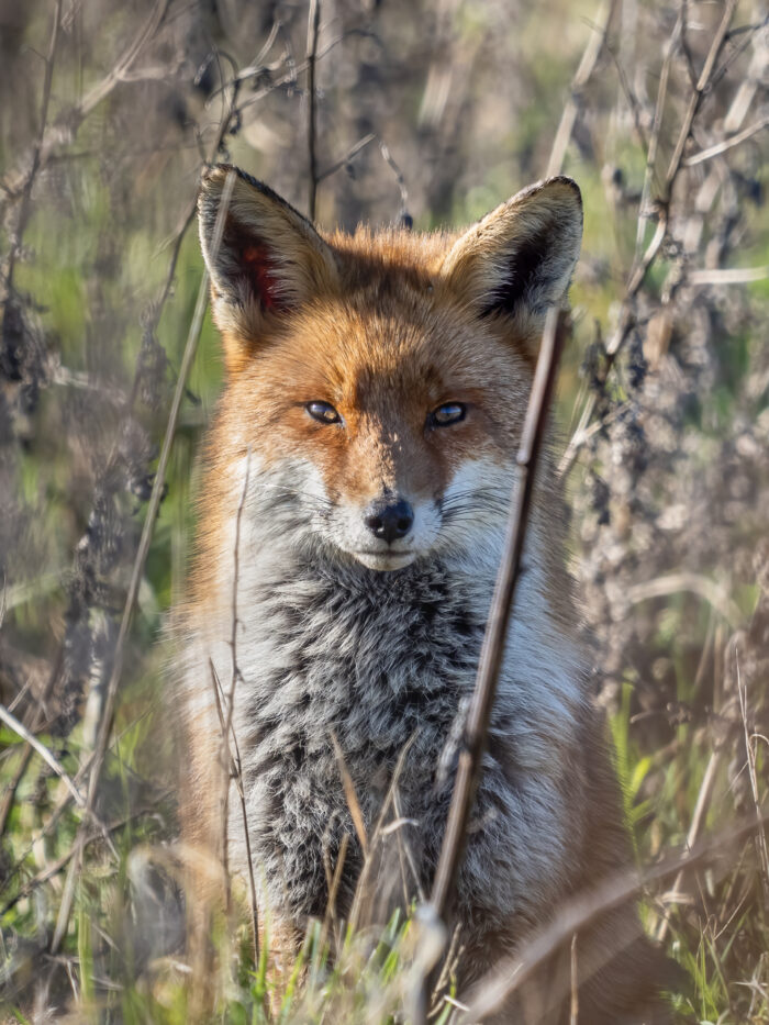 A red fox (Vulpes vulpes) in the Beddington Farmlands nature reserve in Sutton, London.