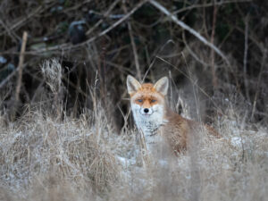 A red fox (Vulpes vuples) in a frosty field in the Beddington Farmlands nature reserve in Sutton, London.