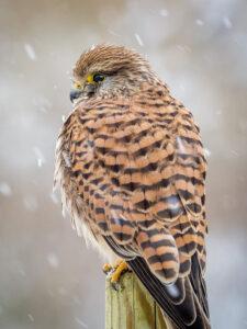 Kestrel in winter