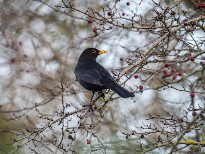 A blackbird (Turdus merula) in the Beddington Farmlands nature reserve in Sutton, London.